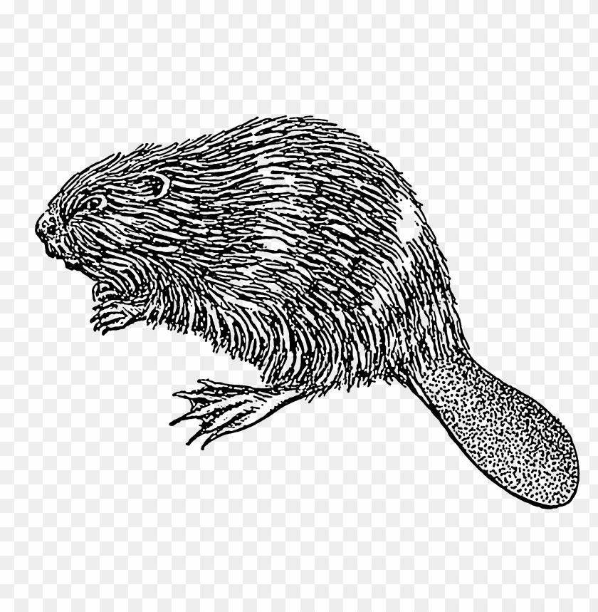 free PNG Download beaver illustration png images background PNG images transparent