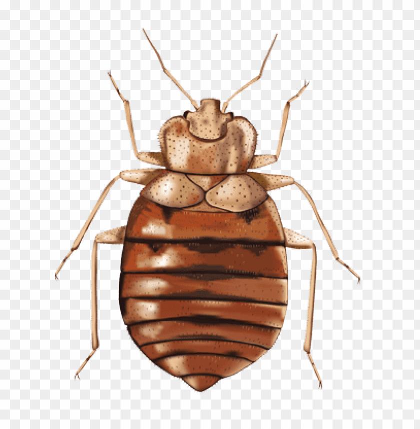 free PNG Download bed bug illustration png images background PNG images transparent