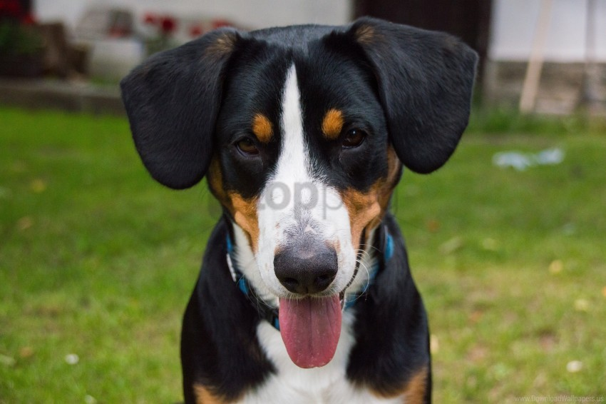 free PNG bernese mountain dog, dog, muzzle wallpaper background best stock photos PNG images transparent