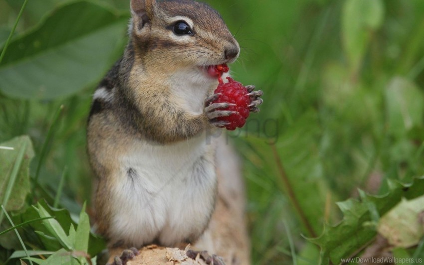 free PNG berry, chipmunk, raspberry wallpaper background best stock photos PNG images transparent