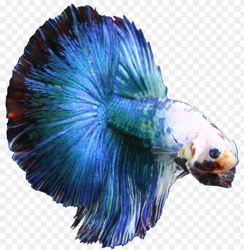 bettaonbanner - blue betta fish PNG image with transparent background@toppng.com