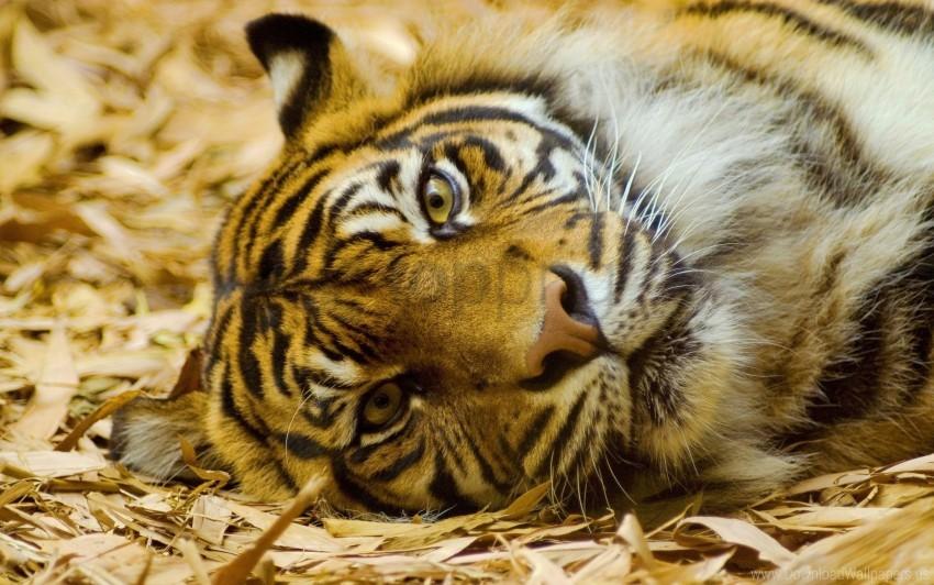 free PNG big cat, carnivore, face, grass, lie, tiger wallpaper background best stock photos PNG images transparent