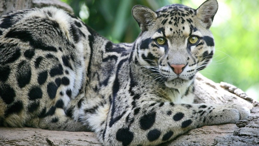 free PNG big cat, carnivore, face, spotted, sundanese clouded leopard wallpaper background best stock photos PNG images transparent