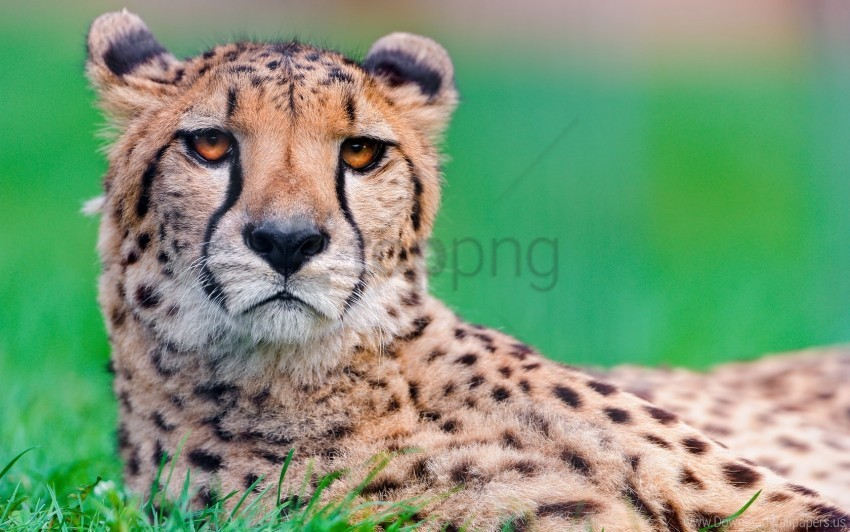 free PNG big cat, cheetah, face, spotted wallpaper background best stock photos PNG images transparent