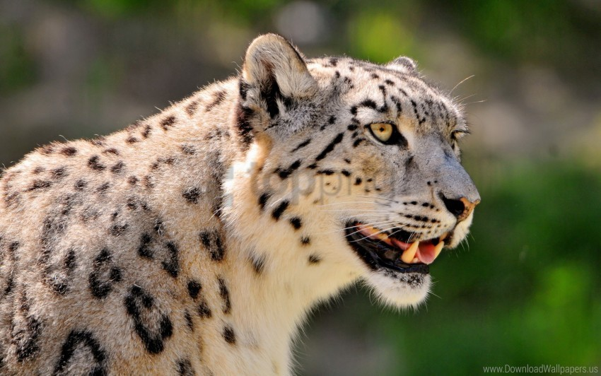 free PNG big cat, color, face, snow leopard, spotted wallpaper background best stock photos PNG images transparent