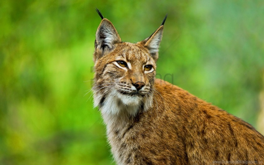 free PNG big cat, ears, grass, lynx, muzzle wallpaper background best stock photos PNG images transparent