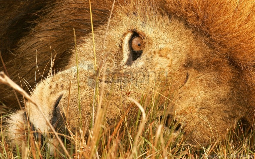 free PNG big cat, eyes, grass, lie, lion, predator wallpaper background best stock photos PNG images transparent