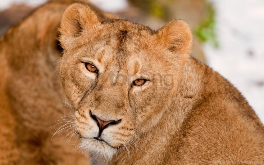 free PNG big cat, eyes, kind, lion, muzzle, predator wallpaper background best stock photos PNG images transparent