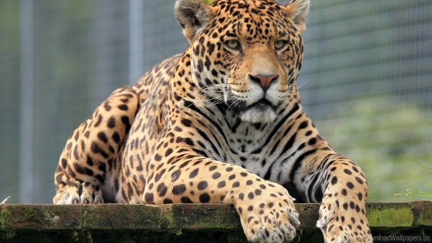 free PNG big cat, eyes, leopard, muzzle, predator wallpaper background best stock photos PNG images transparent
