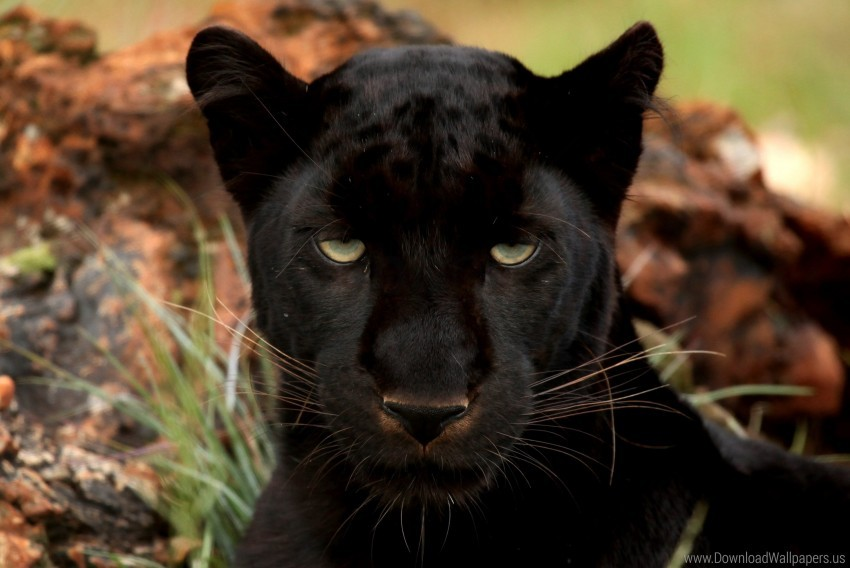 free PNG big cat, eyes, muzzle, panther, predator wallpaper background best stock photos PNG images transparent