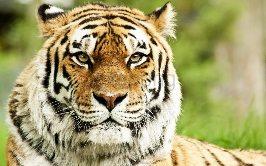 free PNG big cat, eyes, muzzle, predator, striped, tiger wallpaper background best stock photos PNG images transparent