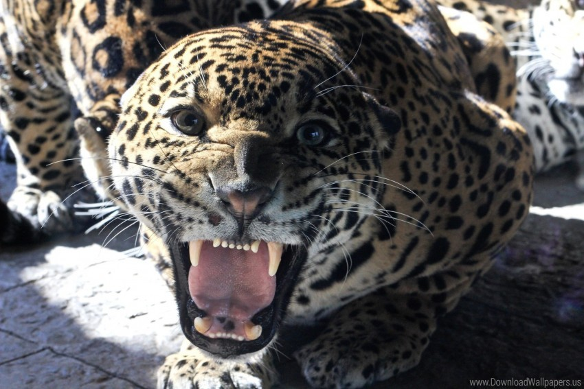 big cat, face, glance, grin, jaguar, teeth wallpaper background best stock photos@toppng.com