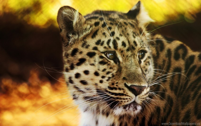 free PNG big cat, face, leopard, predator, spotted wallpaper background best stock photos PNG images transparent