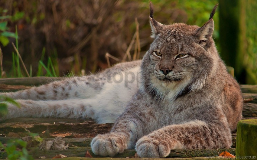 free PNG big cat, face, lie down, lynx, old, sleep wallpaper background best stock photos PNG images transparent