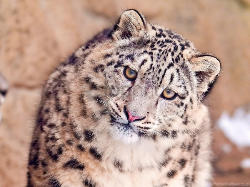 free PNG big cat, face, predator, snow leopard, spotted wallpaper background best stock photos PNG images transparent