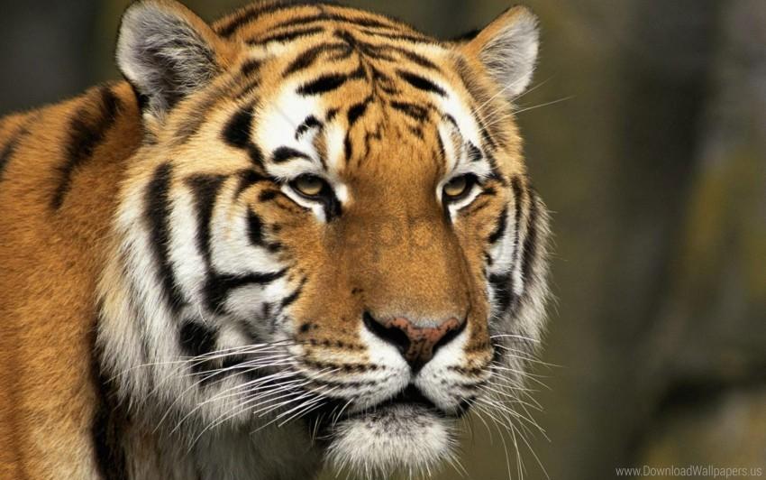 free PNG big cat, face, predator, striped, tiger wallpaper background best stock photos PNG images transparent
