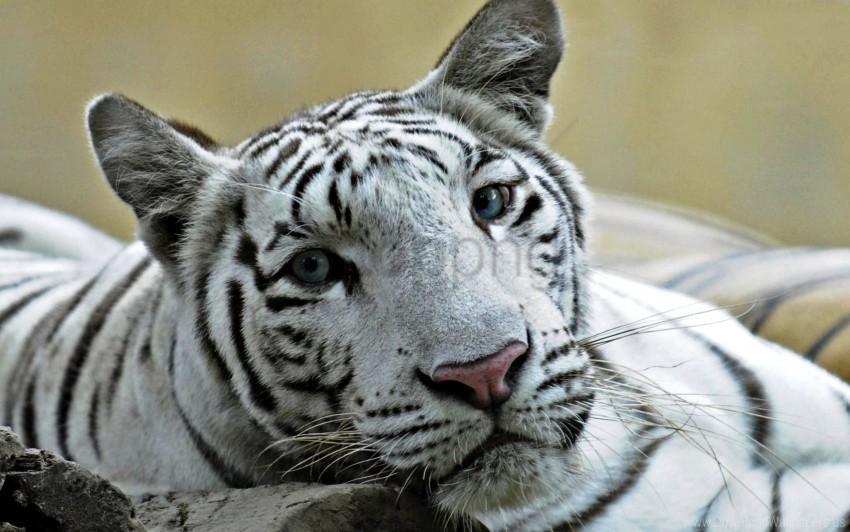 free PNG big cat, face, predator, teeth, tiger wallpaper background best stock photos PNG images transparent