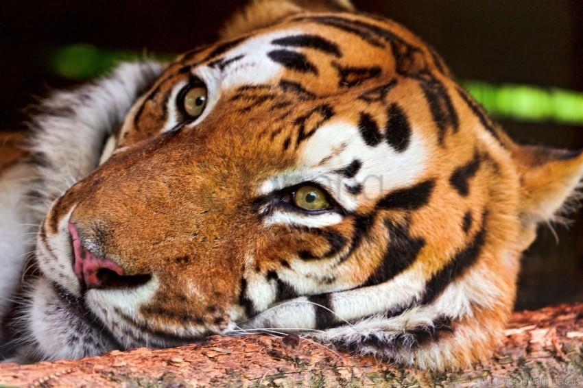 free PNG big cat, face, predator, tiger wallpaper background best stock photos PNG images transparent