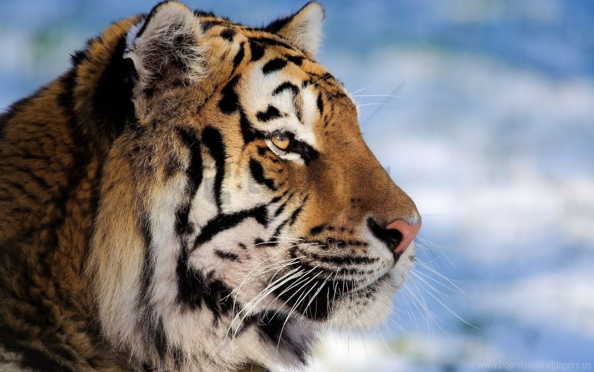 free PNG big cat, face, pro, striped, tiger wallpaper background best stock photos PNG images transparent