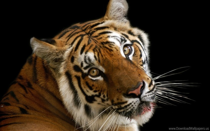 free PNG big cat, face, shadow, tiger wallpaper background best stock photos PNG images transparent