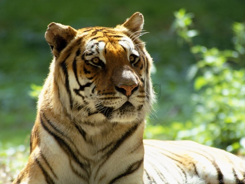 free PNG big cat, face, striped, tiger wallpaper background best stock photos PNG images transparent