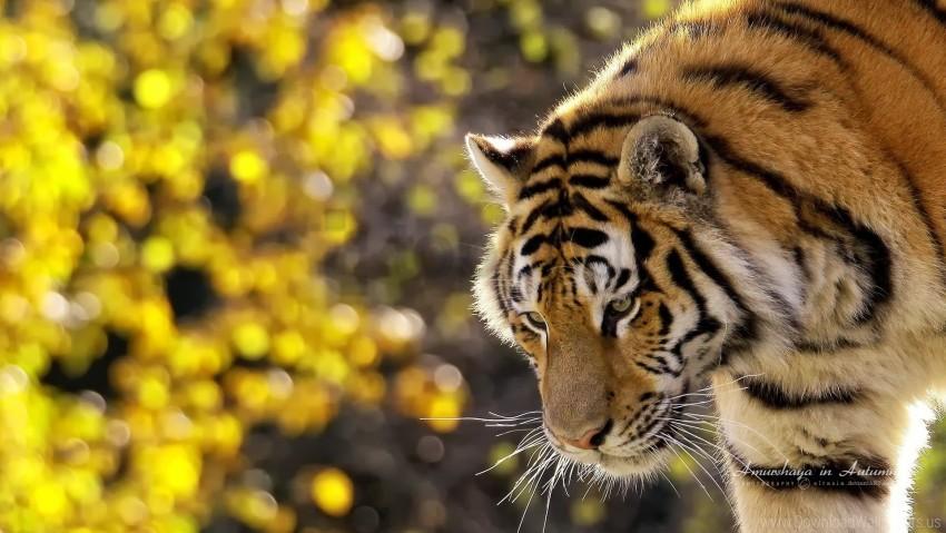 free PNG big cat, flares, muzzle, tiger wallpaper background best stock photos PNG images transparent