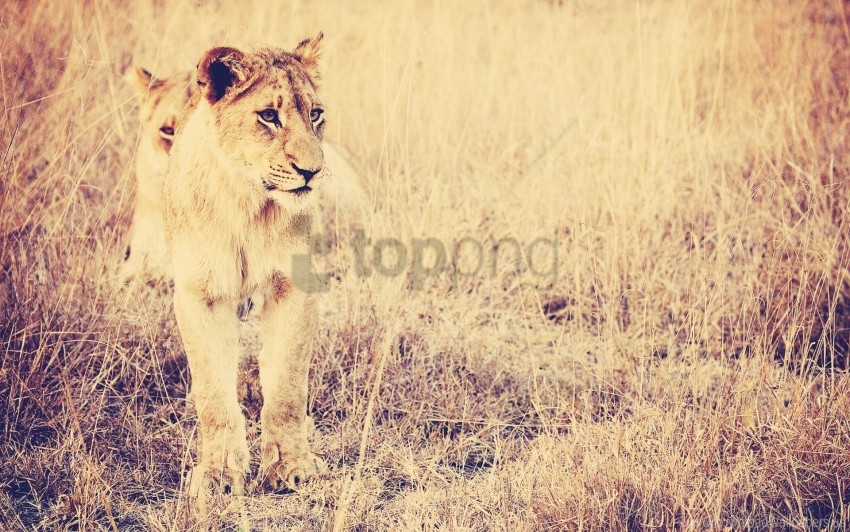 free PNG big cat, grass, lion, predator wallpaper background best stock photos PNG images transparent