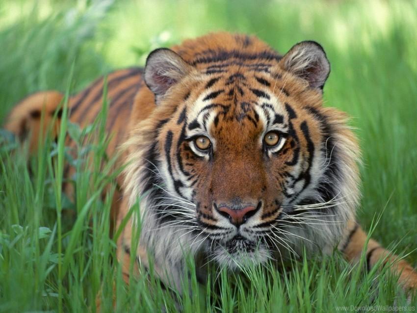 free PNG big cat, grass, muzzle, predator wallpaper background best stock photos PNG images transparent