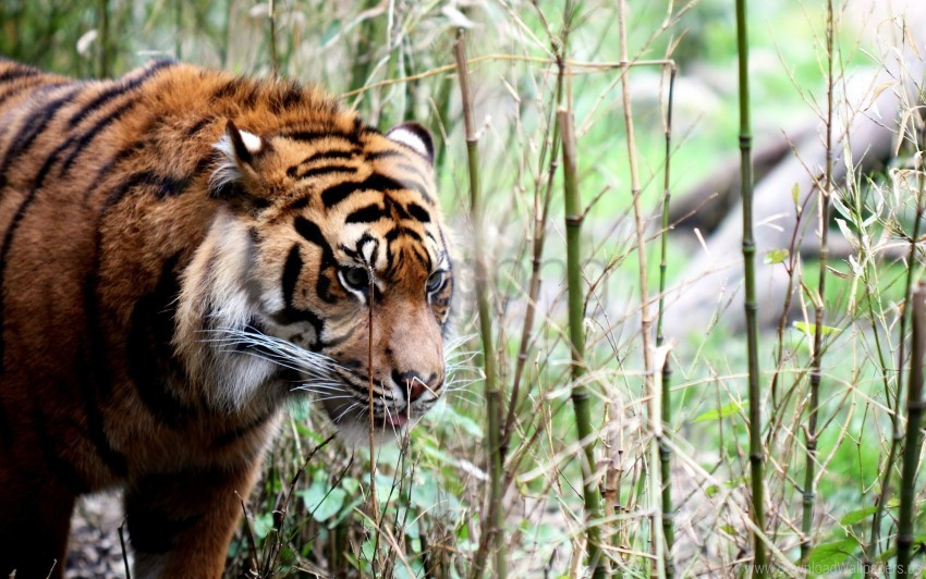free PNG big cat, grass, muzzle, tiger, walking wallpaper background best stock photos PNG images transparent