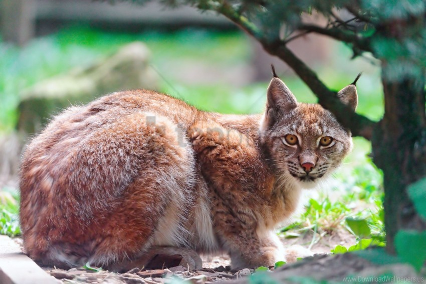 free PNG big cat, lying down, lynx, predator, tree wallpaper background best stock photos PNG images transparent