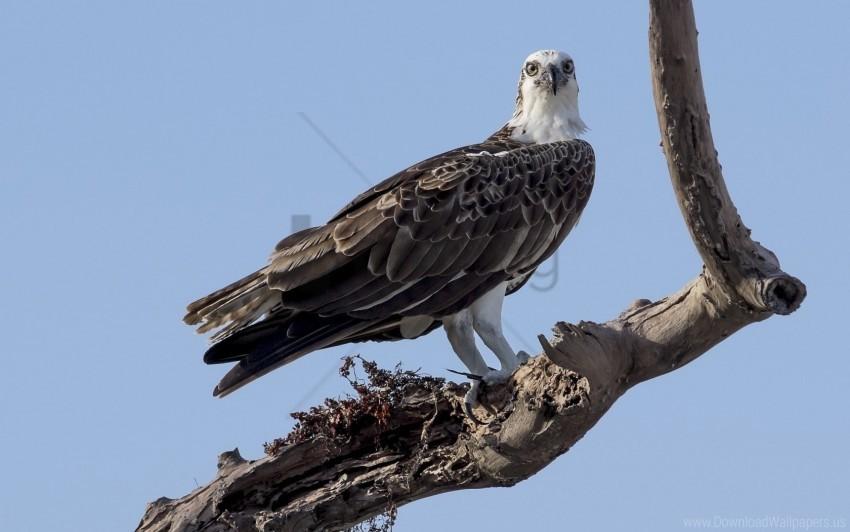 free PNG bird, branch, dry, koryak, sky, tree wallpaper background best stock photos PNG images transparent