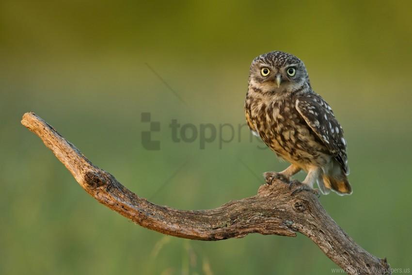 free PNG bird, branch, eyes, owl, predator wallpaper background best stock photos PNG images transparent
