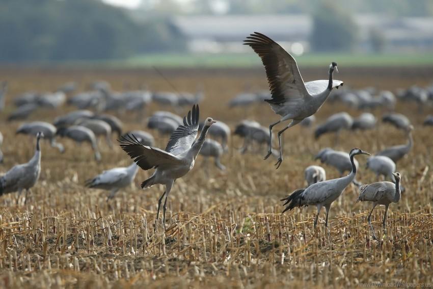 free PNG bird, crane, flock wallpaper background best stock photos PNG images transparent