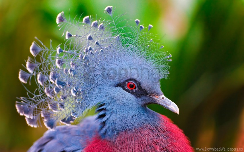 free PNG bird, crowned pigeon, feathers wallpaper background best stock photos PNG images transparent