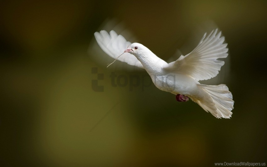 free PNG bird, dove, flap, white dove, wings wallpaper background best stock photos PNG images transparent