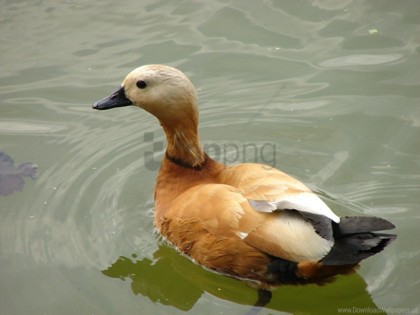 free PNG bird, duck, feathers, lake, swim wallpaper background best stock photos PNG images transparent