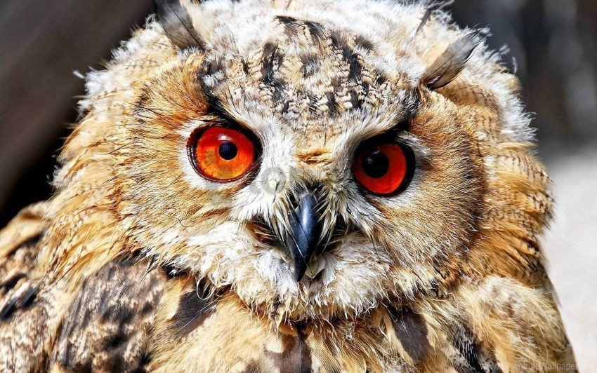 free PNG bird, eyes, owl, predator wallpaper background best stock photos PNG images transparent