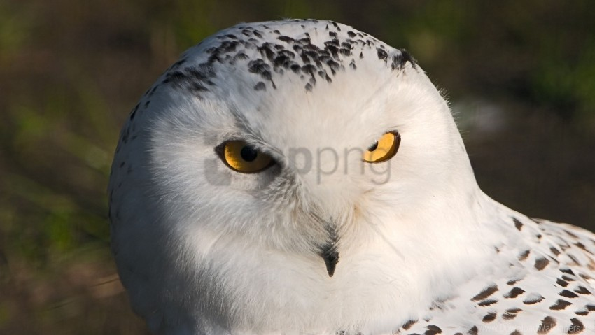free PNG bird, eyes, owl, predator wallpaper background best stock photos PNG images transparent