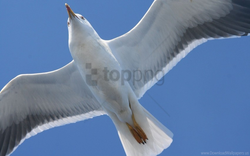 free PNG bird, flap, seagull, wings wallpaper background best stock photos PNG images transparent