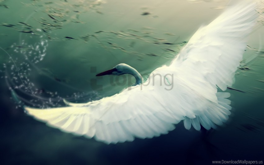 free PNG bird, flap, swan, water, wings wallpaper background best stock photos PNG images transparent