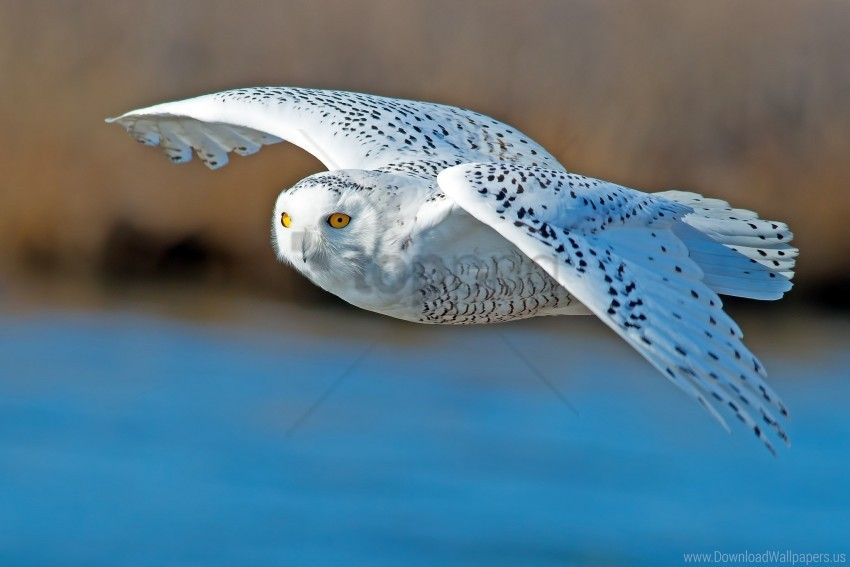 free PNG bird, flying, owl, predator wallpaper background best stock photos PNG images transparent