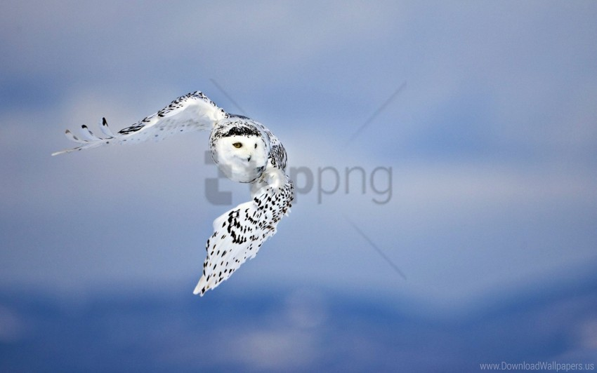 free PNG bird, flying, owl, predator, white wallpaper background best stock photos PNG images transparent