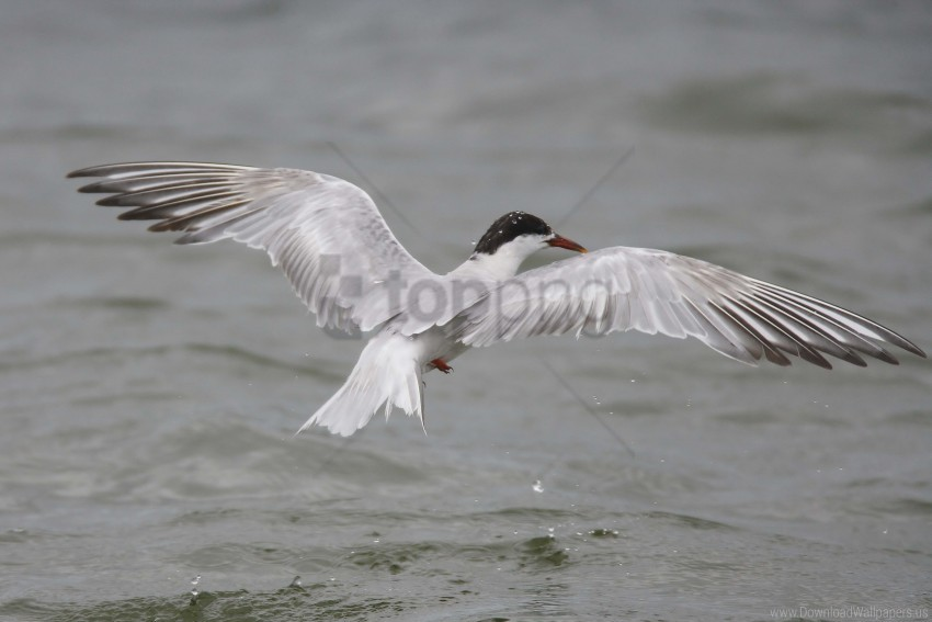 free PNG bird, flying, seagull, water wallpaper background best stock photos PNG images transparent