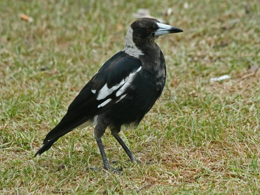 free PNG bird, grass, walk wallpaper background best stock photos PNG images transparent