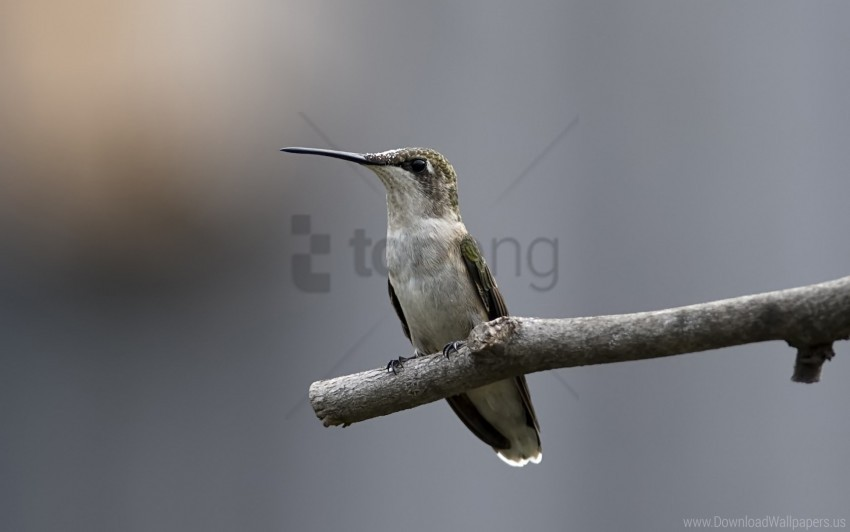 free PNG bird, hummingbird, stick, twig wallpaper background best stock photos PNG images transparent