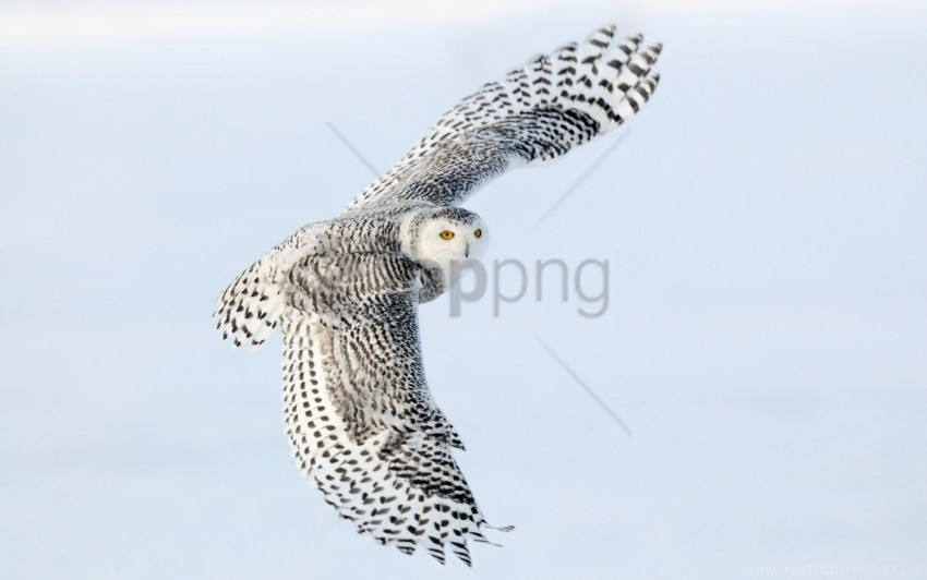 free PNG bird, owl, predator, sky, wings flap wallpaper background best stock photos PNG images transparent