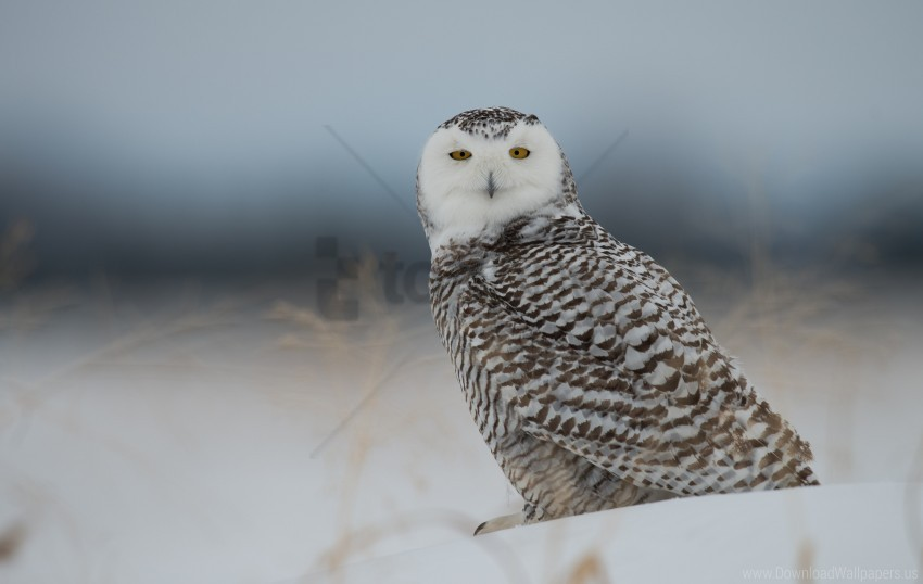 free PNG bird, owl, predator, snow, snowy owl wallpaper background best stock photos PNG images transparent