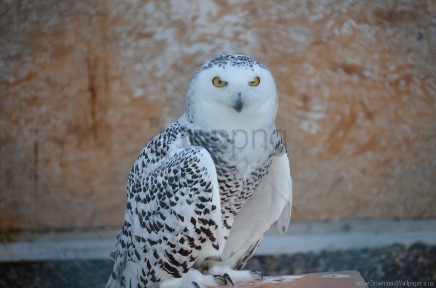 Bird Predator Snowy Owl Wallpaper Background Best Stock