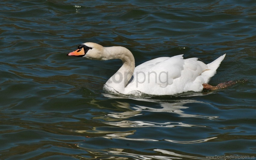 free PNG bird, swan, water surface wallpaper background best stock photos PNG images transparent