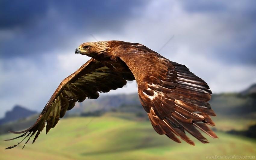 free PNG birds, eagle, flap, flight, predators, wings wallpaper background best stock photos PNG images transparent